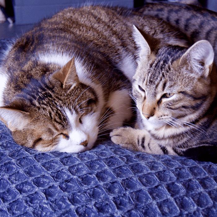 duo de félin, Pablo et Philo