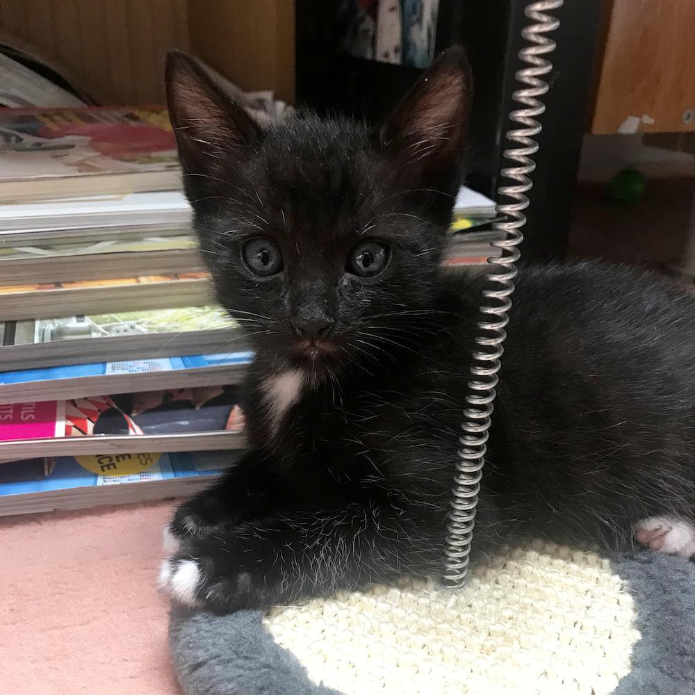 Black kitten Yukio de Chats chez Nous